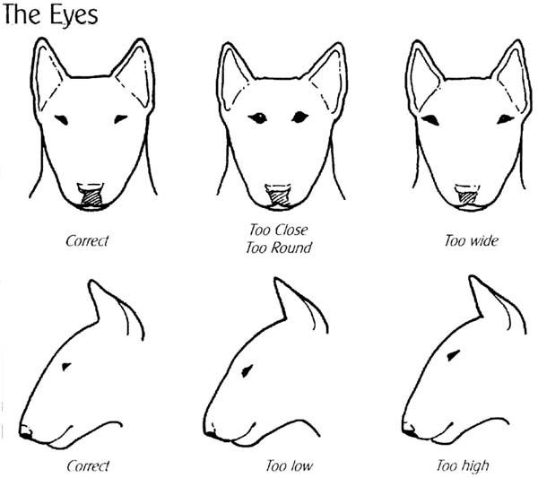 لكلب الثور(Bull Terrier)الانواع +صور+فيديوهات Focus04